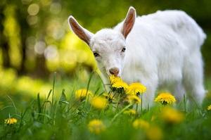 Entdecken Sie eine Ziegenfarm